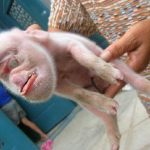 Picture of Pig with Monkey Face