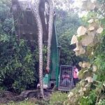 Picture about 55 Feet Snake found in Forest of Malaysia