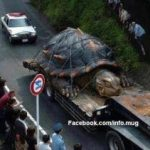 Picture about World's largest Tortise found in Amazon sea