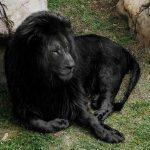 Picture about Black Lion
