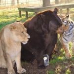 Picture of A Lion, Tiger and Bear Living Together as Friends