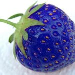 Picture about Blue Strawberries, Genetically Modified by Fish Genes