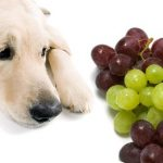 Picture: Grapes and Raisins Toxic to Dogs and Cats