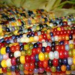 Picture: Native American Farmer Grows Amazing Multi-Colored Corn