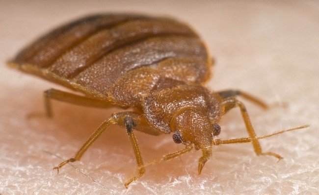 Picture about Kids Smoking Bed Bugs to Get High