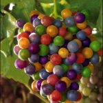 Pictures Showing Rainbow Grapes