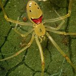 Photograph Showing a Happy Face Spider
