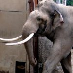 Picture about A Charging Elephant Stopped and Rescued a Baby in Bengal
