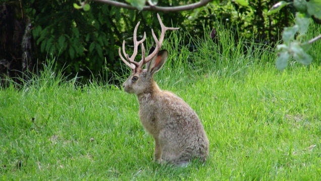 Picture about Jackalope, Rabbit with Antelope Horns