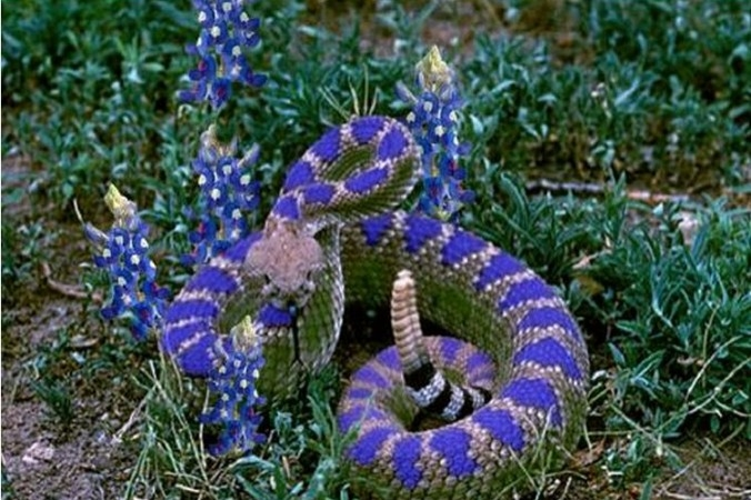 Picture about Texas Blue Bonnet Rattlesnake, New Species Discovered