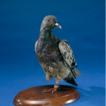 Picture about Heartwarming Story of Cher Ami, the Pigeon who Saved 200 American Soldiers