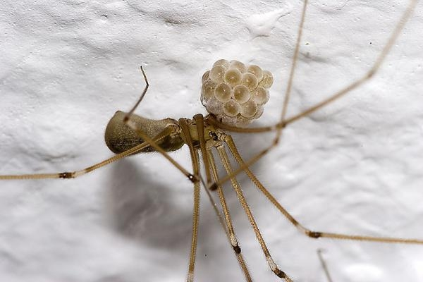 Picture Suggesting Daddy Long Legs Spiders are Most Poisonous