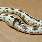 Picture of Self-cannibalism in Snakes