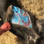 Picture of Pig With Blue Fat Found at California Ranch