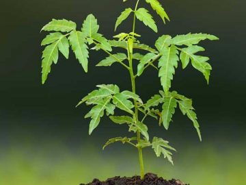 Picture about Neem Plant Rotating Itself in Siricilla Town